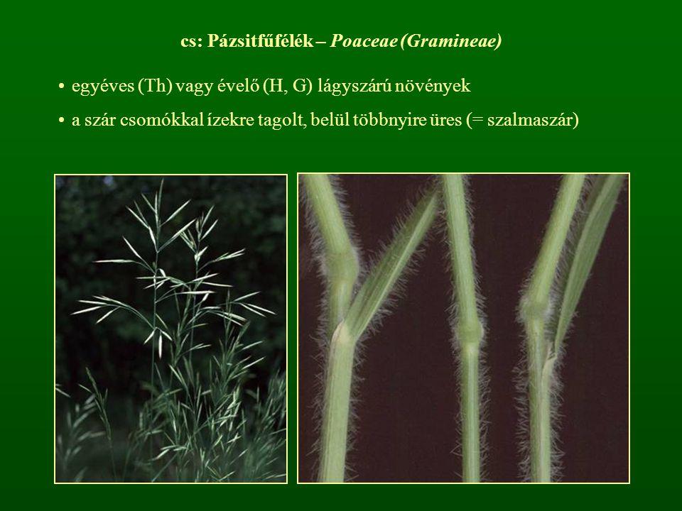 cs: Pázsitfűfélék – Poaceae (Gramineae) egyéves (Th) vagy évelő (H, G) lágyszárú növények a szár csomókkal ízekre tagolt, belül többnyire üres (= szal