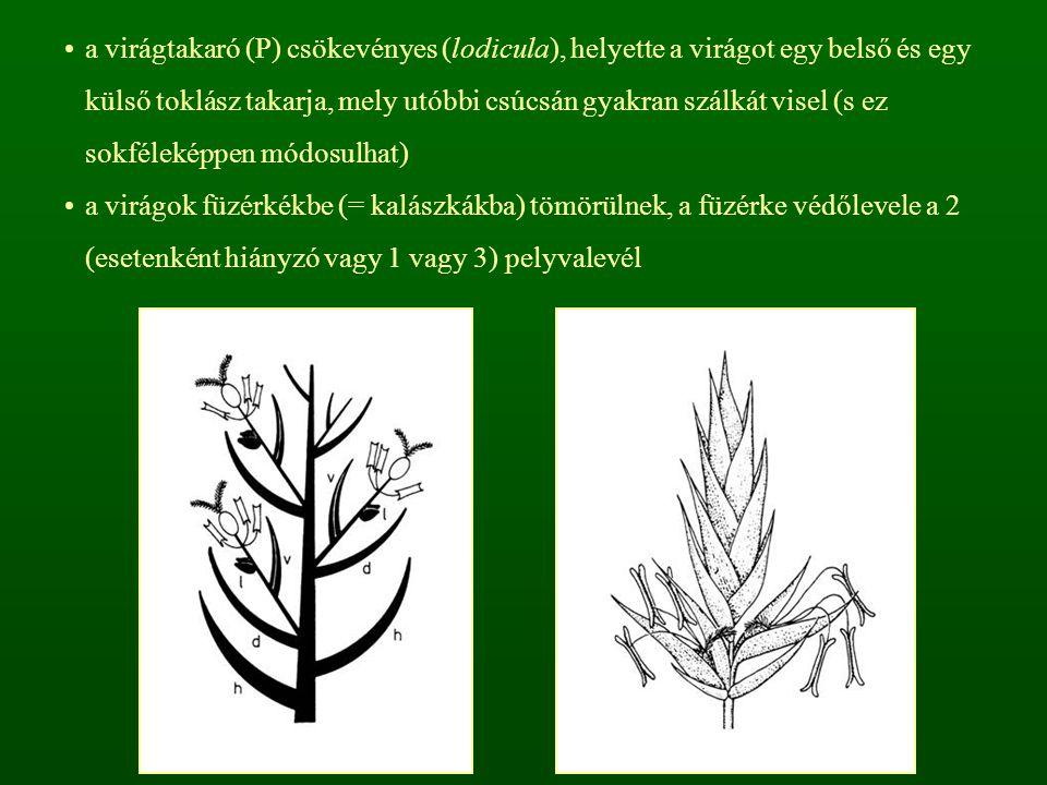 a virágtakaró (P) csökevényes (lodicula), helyette a virágot egy belső és egy külső toklász takarja, mely utóbbi csúcsán gyakran szálkát visel (s ez s
