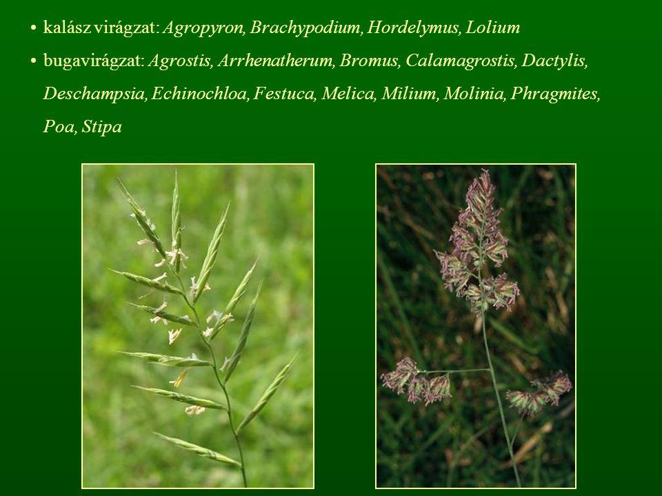 kalász virágzat: Agropyron, Brachypodium, Hordelymus, Lolium bugavirágzat: Agrostis, Arrhenatherum, Bromus, Calamagrostis, Dactylis, Deschampsia, Echi