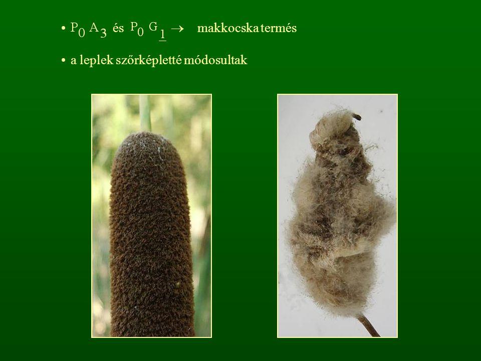 és  makkocska termés a leplek szőrképletté módosultak