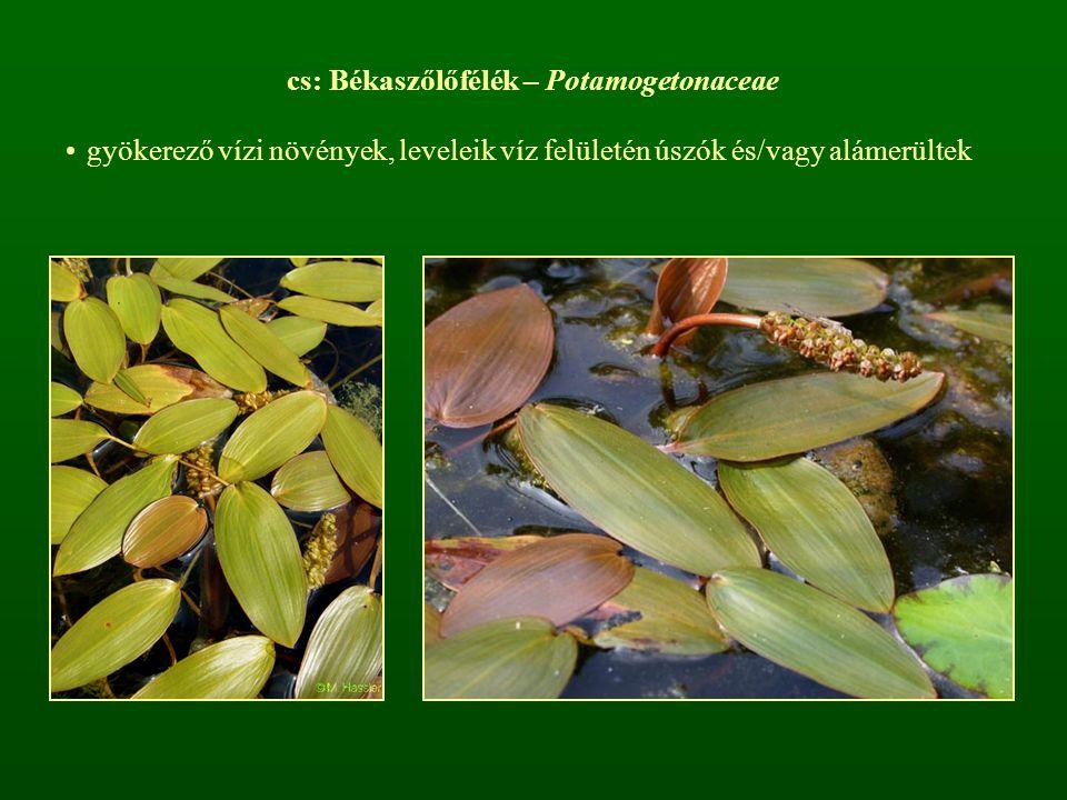 végálló füzér virágzatuk van [P 4 A 4 ] G 4  aszmag termés zöld leplük csökevényes, a porzószálakhoz nőtt nemzetsége: Potamogeton
