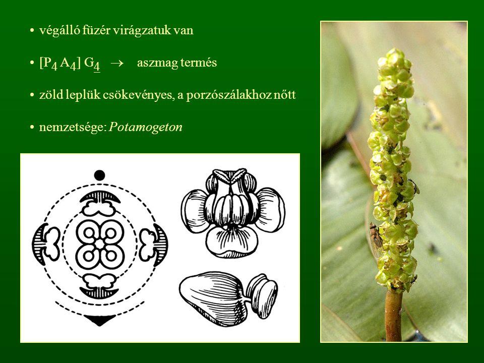 cs: Orchideafélék (Kosborfélék) – Orchidaceae talajlakók, epifitinok vagy liánok endrotróf mikorrhizásak, gyökérszőreik nincsenek a talajlakók földbeli szerve rizóma vagy szárgumó (ikergumó)