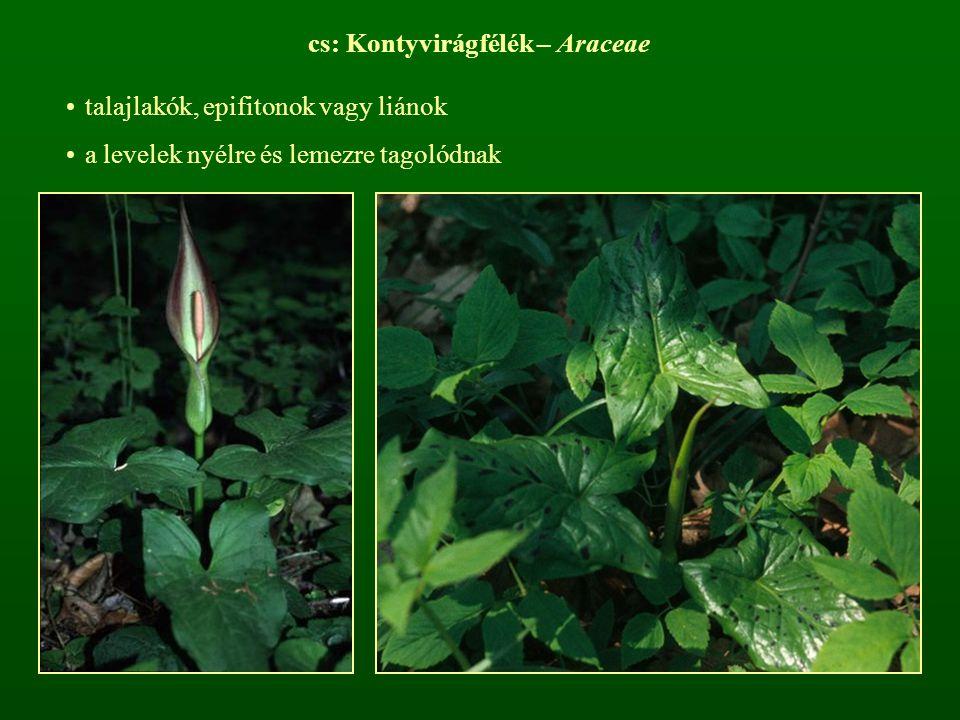 a virágzati tengely alsó részében termős, középen porzós virágok, felül meddő termős virágok találhatók (spadix), melyet egy buroklevél (spatha) véd a spatha gyakran színes rovarbeporzásúak