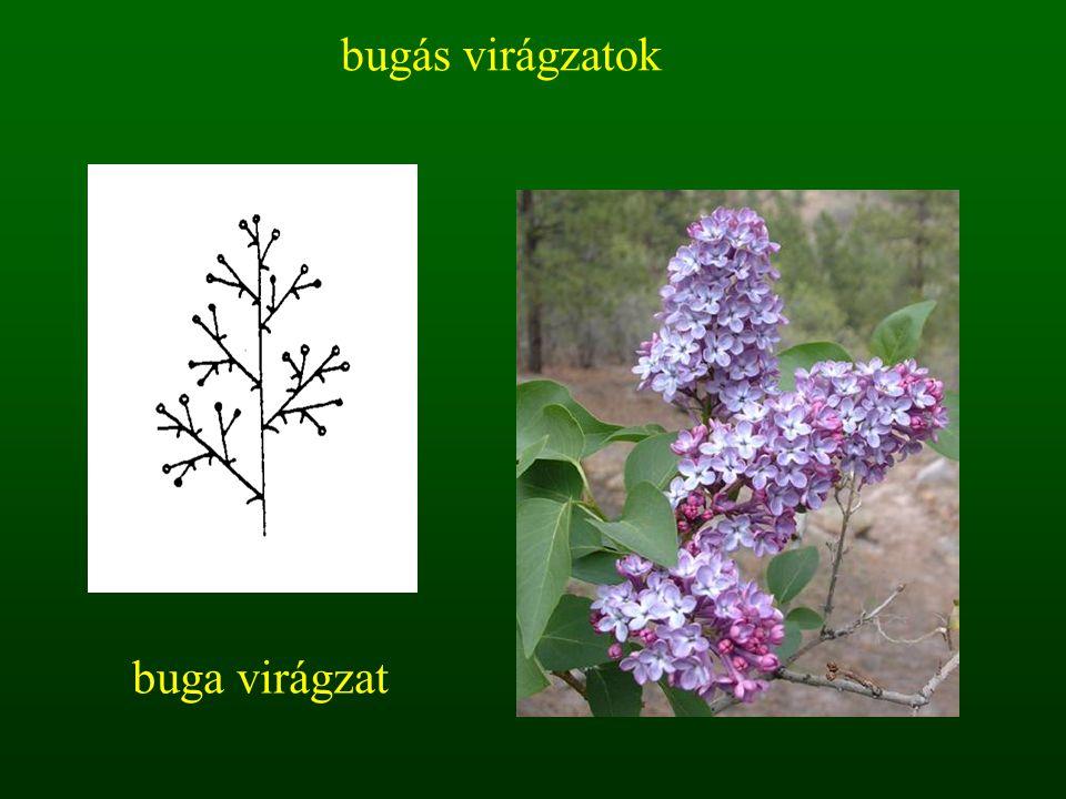 bugás virágzatok buga virágzat
