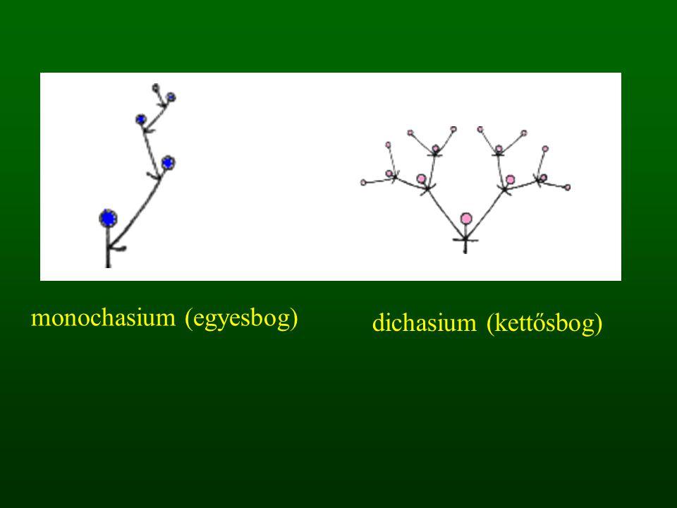 monochasium (egyesbog) dichasium (kettősbog)