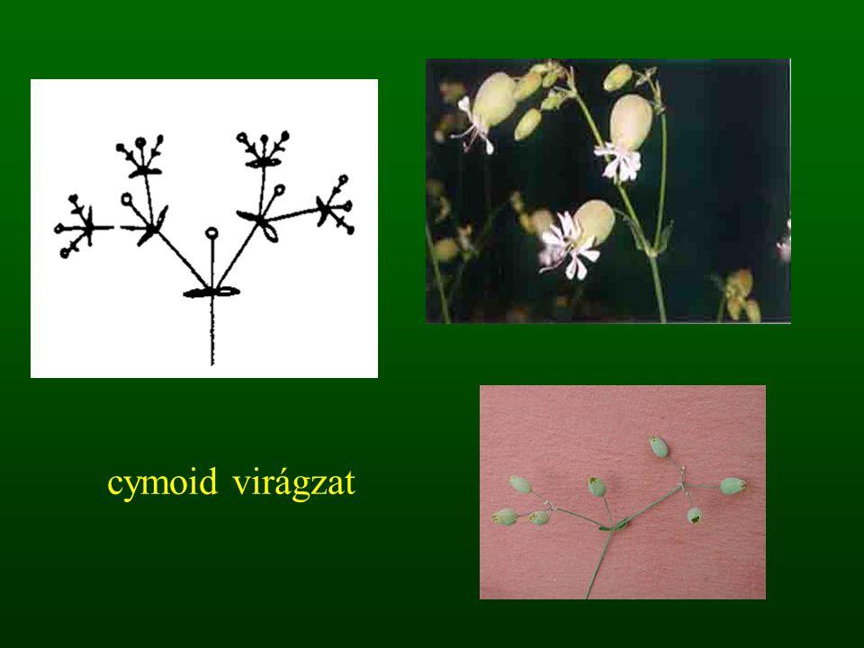 cymoid virágzat