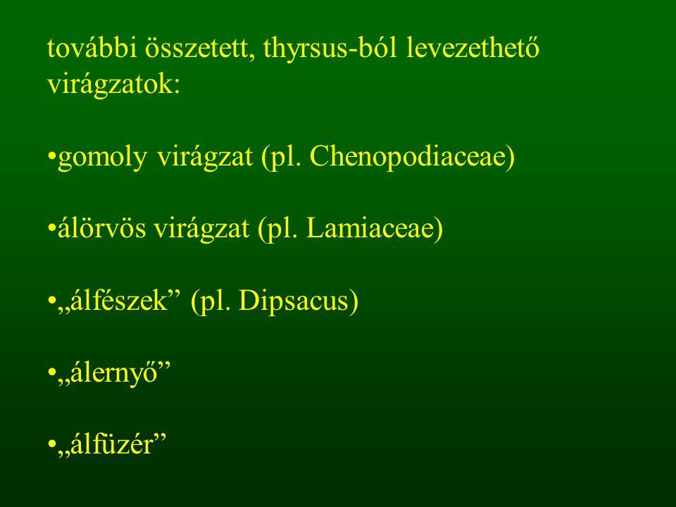 """további összetett, thyrsus-ból levezethető virágzatok: gomoly virágzat (pl. Chenopodiaceae) álörvös virágzat (pl. Lamiaceae) """"álfészek"""" (pl. Dipsacus)"""