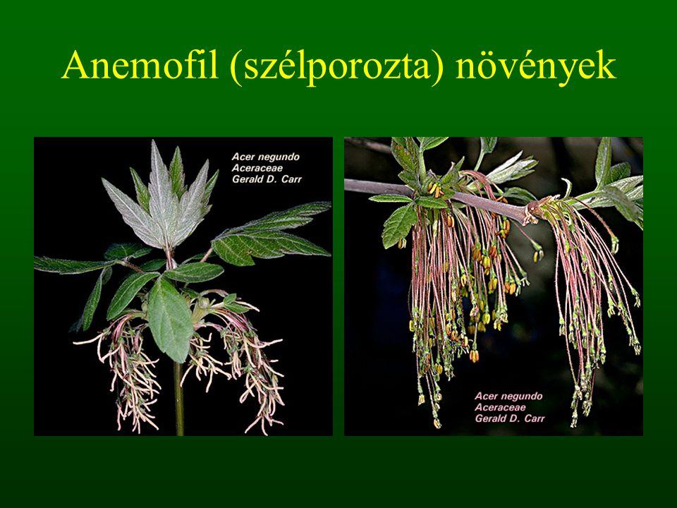 Anemofil (szélporozta) növények
