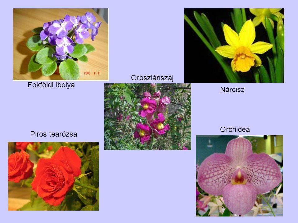 Piros tearózsa Orchidea Nárcisz Fokföldi ibolya Oroszlánszáj