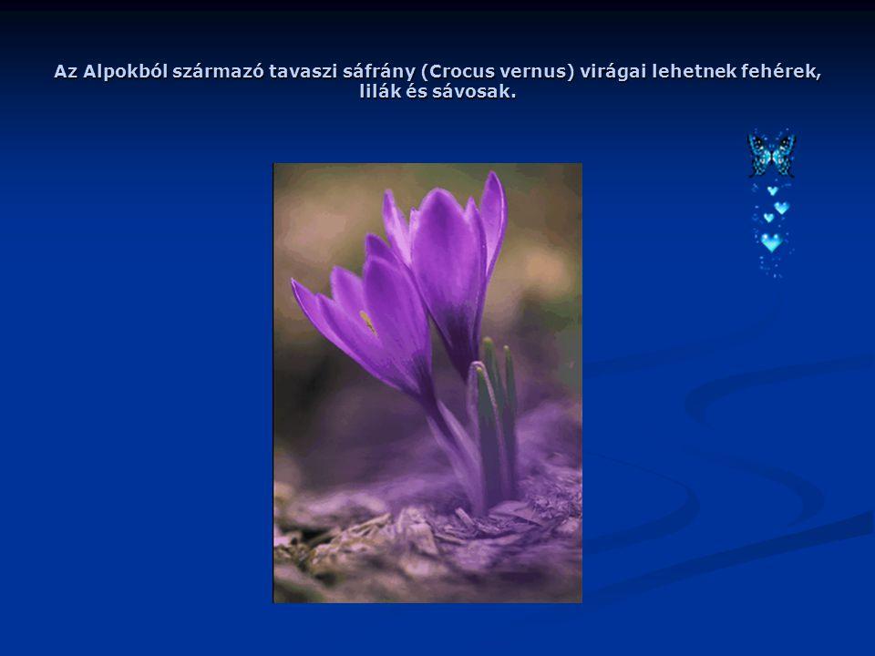 Az Alpokból származó tavaszi sáfrány (Crocus vernus) virágai lehetnek fehérek, lilák és sávosak.