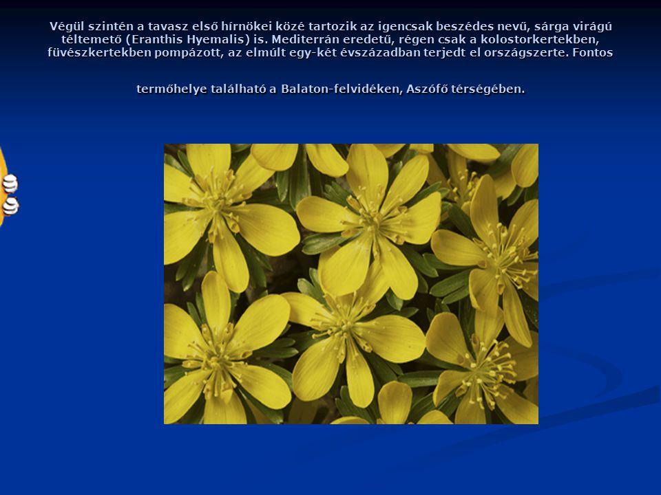 Végül szintén a tavasz első hírnökei közé tartozik az igencsak beszédes nevű, sárga virágú téltemető (Eranthis Hyemalis) is.