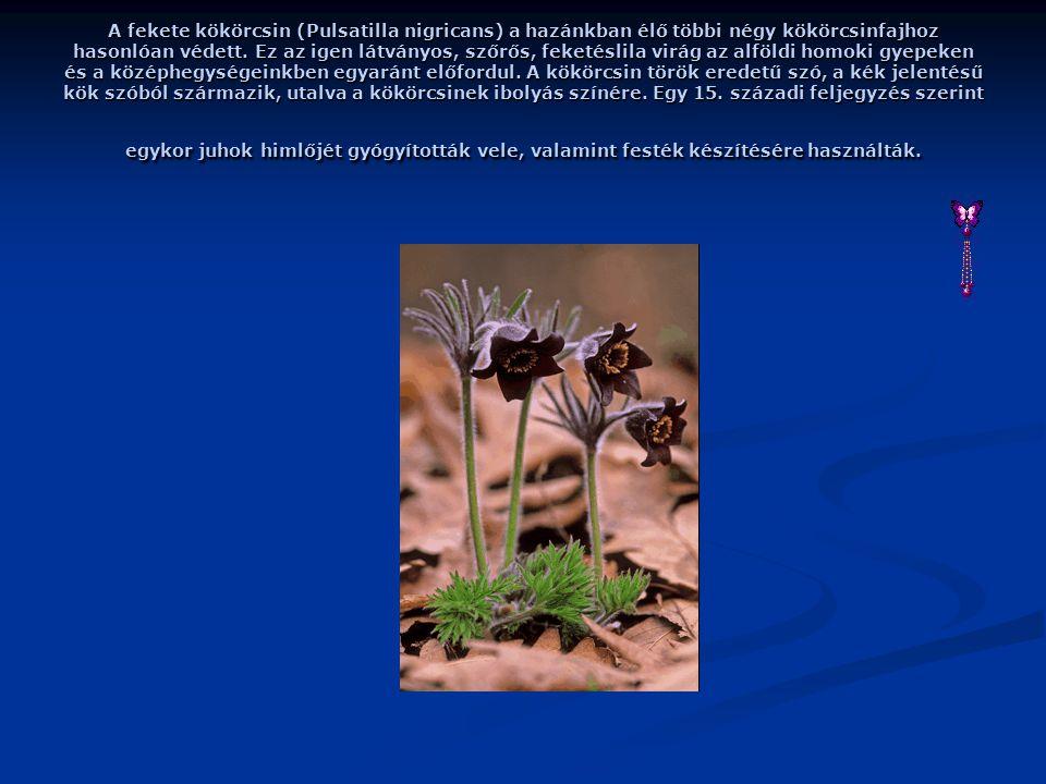 A fekete kökörcsin (Pulsatilla nigricans) a hazánkban élő többi négy kökörcsinfajhoz hasonlóan védett.