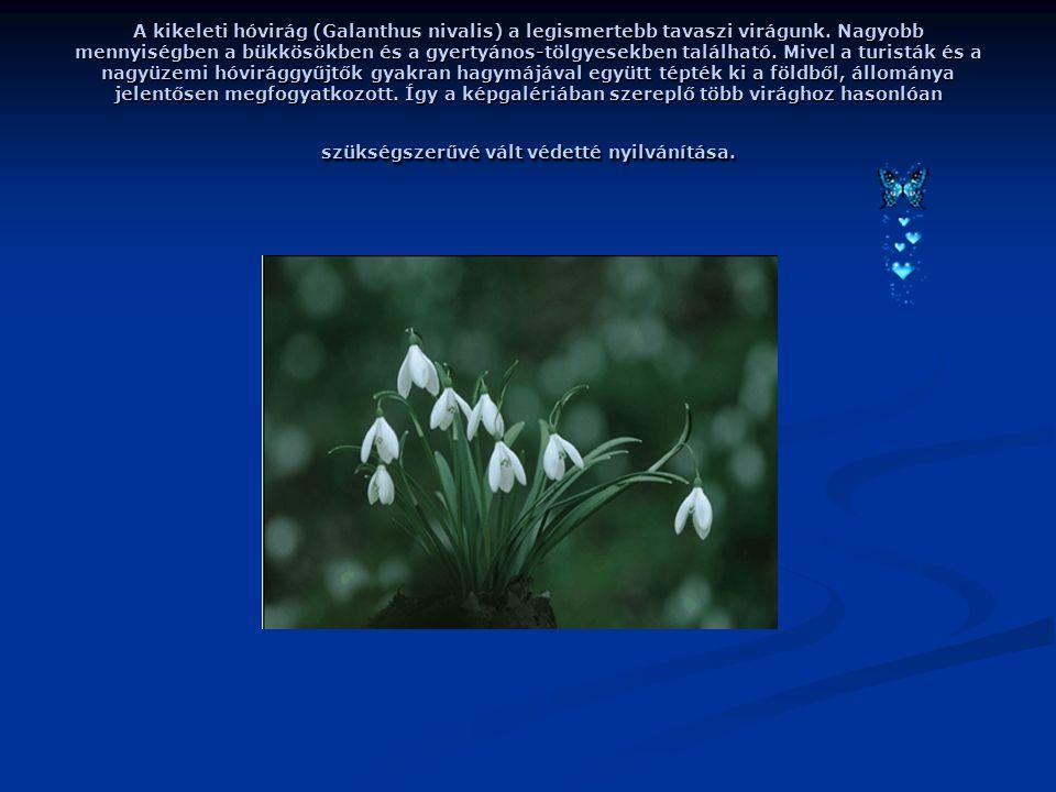 A kikeleti hóvirág (Galanthus nivalis) a legismertebb tavaszi virágunk.