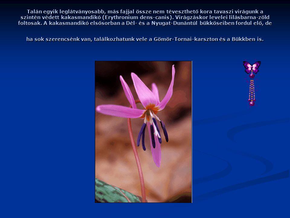 Talán egyik leglátványosabb, más fajjal össze nem téveszthető kora tavaszi virágunk a szintén védett kakasmandikó (Erythronium dens-canis).