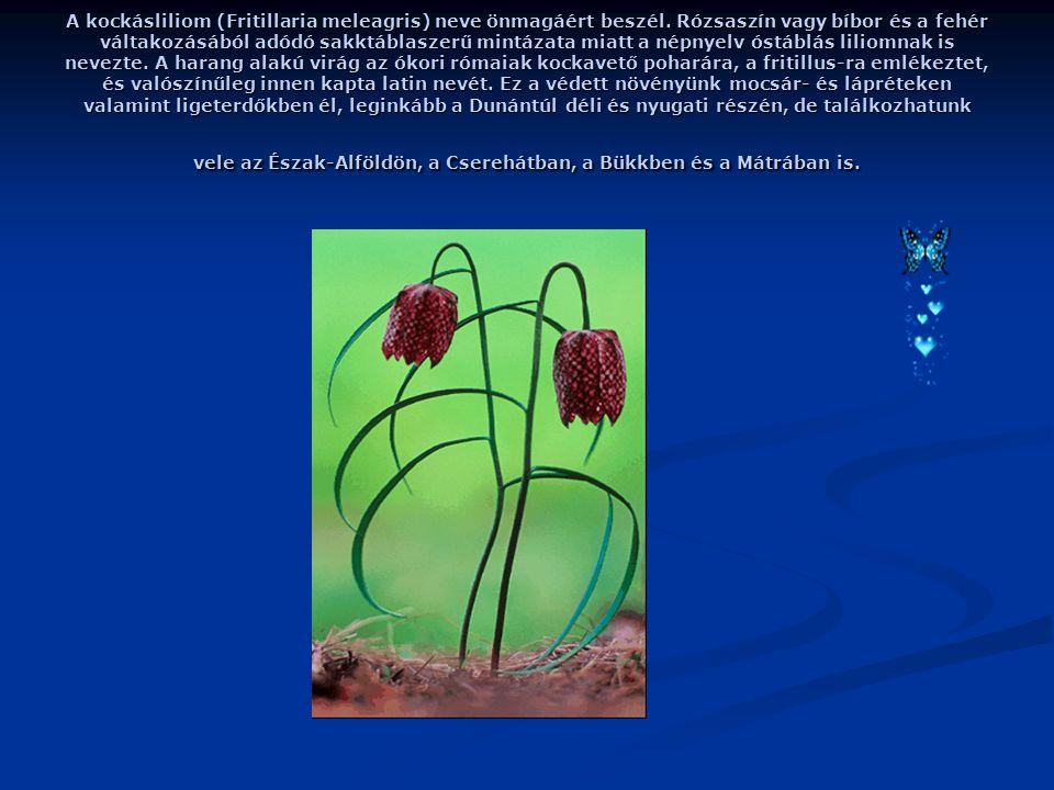 A kockásliliom (Fritillaria meleagris) neve önmagáért beszél.