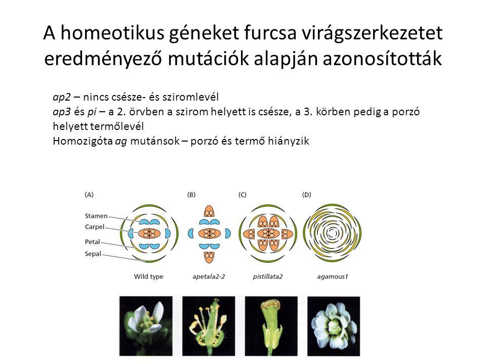 A homeotikus géneket furcsa virágszerkezetet eredményező mutációk alapján azonosították ap2 – nincs csésze- és sziromlevél ap3 és pi – a 2. örvben a s