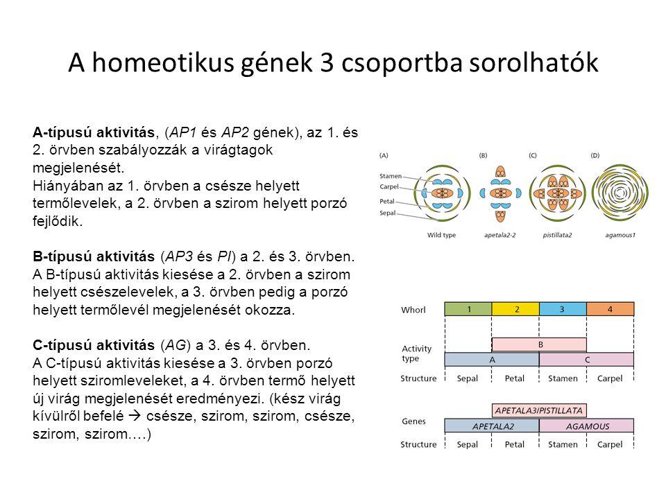 A homeotikus gének 3 csoportba sorolhatók A-típusú aktivitás, (AP1 és AP2 gének), az 1. és 2. örvben szabályozzák a virágtagok megjelenését. Hiányában