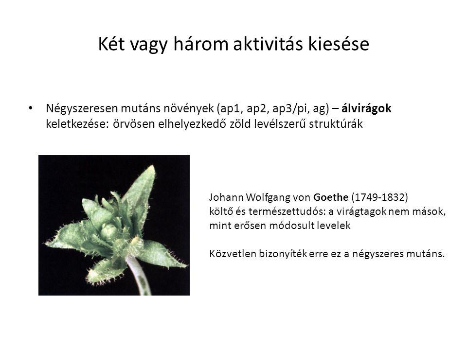 Két vagy három aktivitás kiesése Négyszeresen mutáns növények (ap1, ap2, ap3/pi, ag) – álvirágok keletkezése: örvösen elhelyezkedő zöld levélszerű str