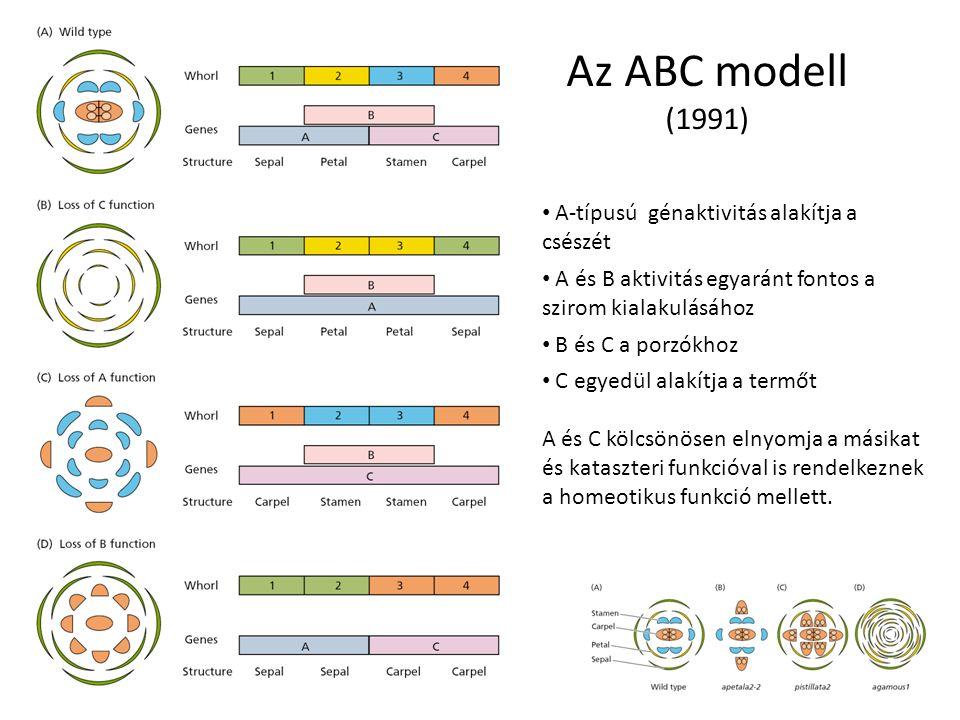 Az ABC modell (1991) A-típusú génaktivitás alakítja a csészét A és B aktivitás egyaránt fontos a szirom kialakulásához B és C a porzókhoz C egyedül al
