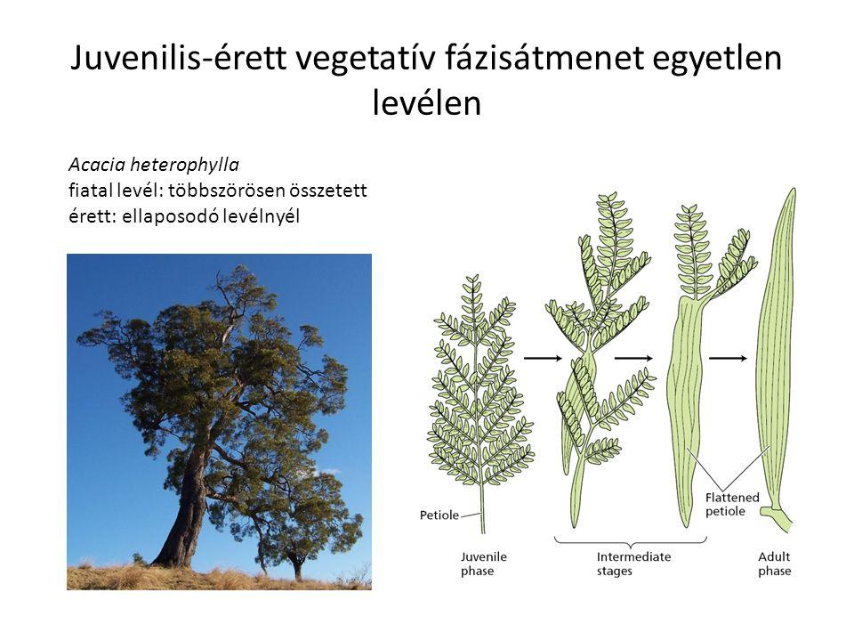 Juvenilis-érett vegetatív fázisátmenet egyetlen levélen Acacia heterophylla fiatal levél: többszörösen összetett érett: ellaposodó levélnyél