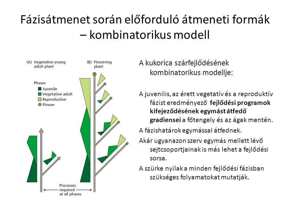 Fázisátmenet során előforduló átmeneti formák – kombinatorikus modell A kukorica szárfejlődésének kombinatorikus modellje: A juvenilis, az érett veget