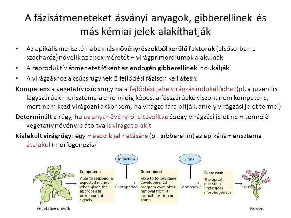 A fázisátmeneteket ásványi anyagok, gibberellinek és más kémiai jelek alakíthatják Az apikális merisztémába más növényrészekből kerülő faktorok (elsős