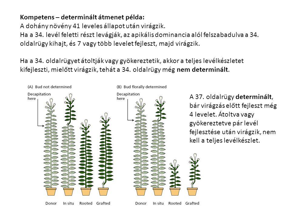 Kompetens – determinált átmenet példa: A dohány növény 41 leveles állapot után virágzik. Ha a 34. levél feletti részt levágják, az apikális dominancia