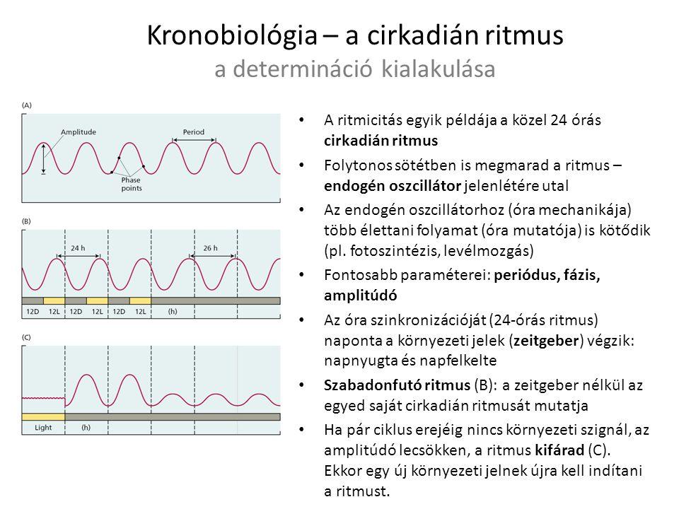 Kronobiológia – a cirkadián ritmus a determináció kialakulása A ritmicitás egyik példája a közel 24 órás cirkadián ritmus Folytonos sötétben is megmar