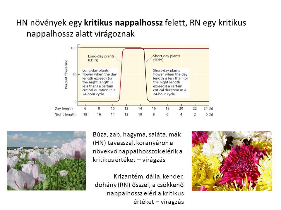 HN növények egy kritikus nappalhossz felett, RN egy kritikus nappalhossz alatt virágoznak Búza, zab, hagyma, saláta, mák (HN) tavasszal, koranyáron a