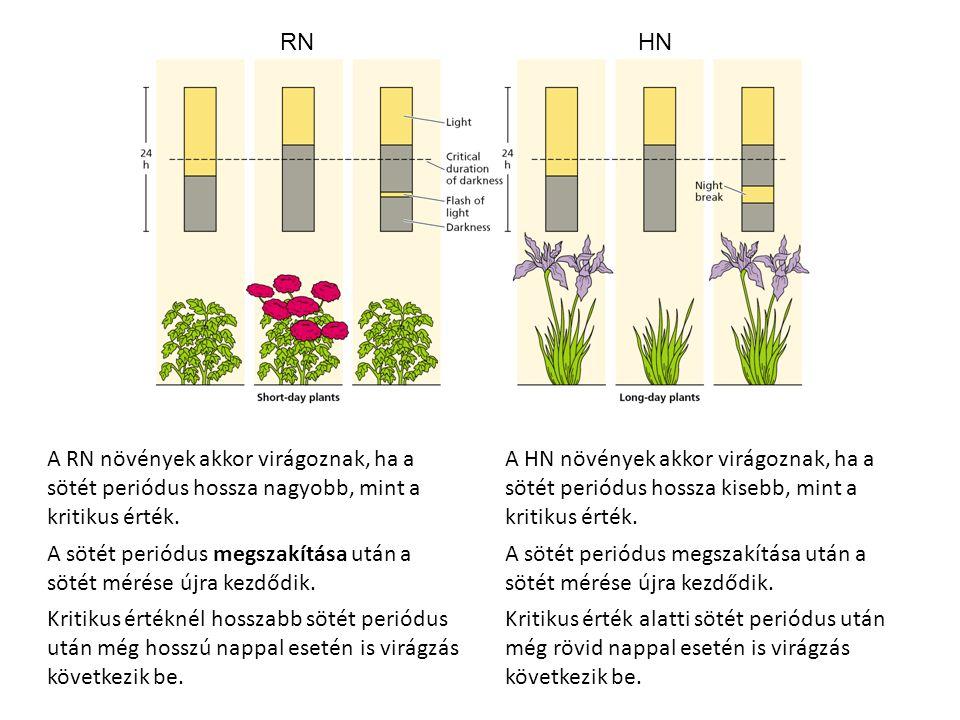 A RN növények akkor virágoznak, ha a sötét periódus hossza nagyobb, mint a kritikus érték. A sötét periódus megszakítása után a sötét mérése újra kezd