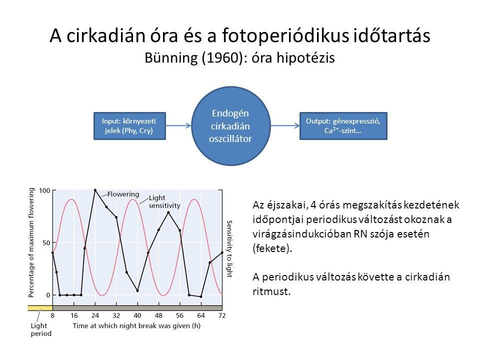A cirkadián óra és a fotoperiódikus időtartás Bünning (1960): óra hipotézis Endogén cirkadián oszcillátor Output: génexpresszió, Ca 2+ -szint… Input:
