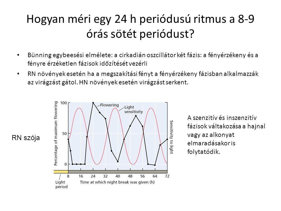 Hogyan méri egy 24 h periódusú ritmus a 8-9 órás sötét periódust? Bünning egybeesési elmélete: a cirkadián oszcillátor két fázis: a fényérzékeny és a