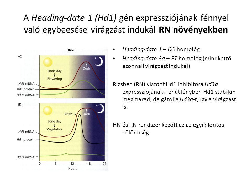 Heading-date 1 – CO homológ Heading-date 3a – FT homológ (mindkettő azonnali virágzást indukál) Rizsben (RN) viszont Hd1 inhibitora Hd3a expresszióján