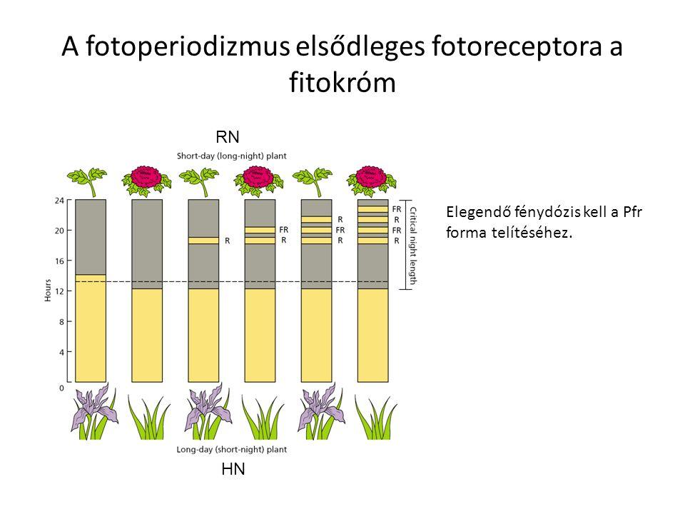A fotoperiodizmus elsődleges fotoreceptora a fitokróm Elegendő fénydózis kell a Pfr forma telítéséhez. RN HN