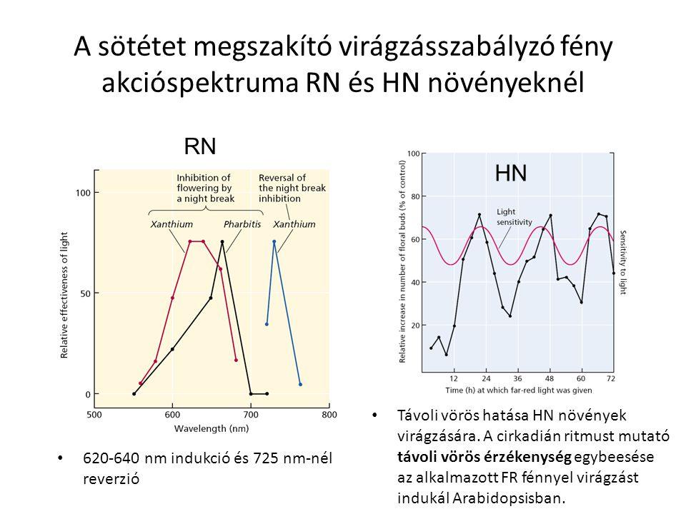 A sötétet megszakító virágzásszabályzó fény akcióspektruma RN és HN növényeknél 620-640 nm indukció és 725 nm-nél reverzió RN HN Távoli vörös hatása H