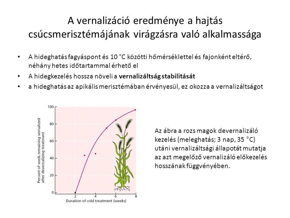 A vernalizáció eredménye a hajtás csúcsmerisztémájának virágzásra való alkalmassága A hideghatás fagyáspont és 10 °C közötti hőmérséklettel és fajonké