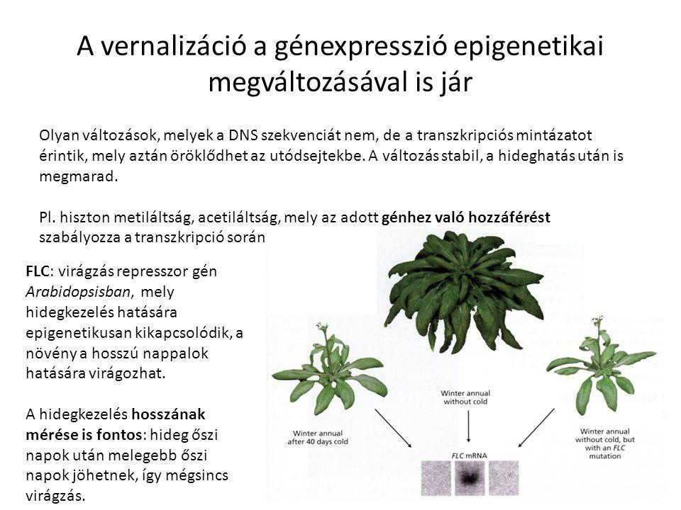 A vernalizáció a génexpresszió epigenetikai megváltozásával is jár Olyan változások, melyek a DNS szekvenciát nem, de a transzkripciós mintázatot érin