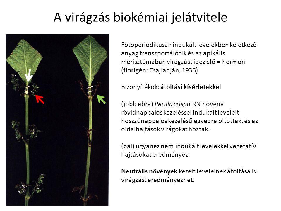 A virágzás biokémiai jelátvitele Fotoperiodikusan indukált levelekben keletkező anyag transzportálódik és az apikális merisztémában virágzást idéz elő