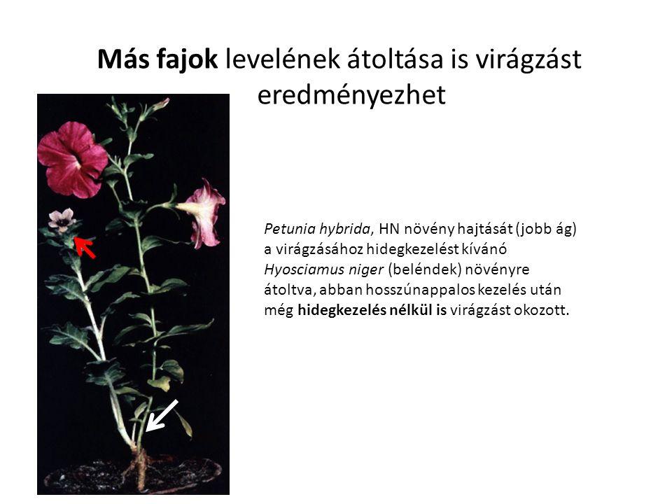 Más fajok levelének átoltása is virágzást eredményezhet Petunia hybrida, HN növény hajtását (jobb ág) a virágzásához hidegkezelést kívánó Hyosciamus n