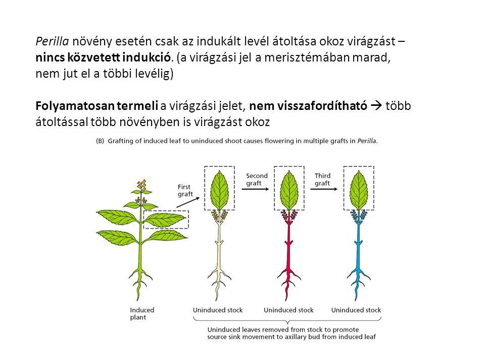Perilla növény esetén csak az indukált levél átoltása okoz virágzást – nincs közvetett indukció. (a virágzási jel a merisztémában marad, nem jut el a