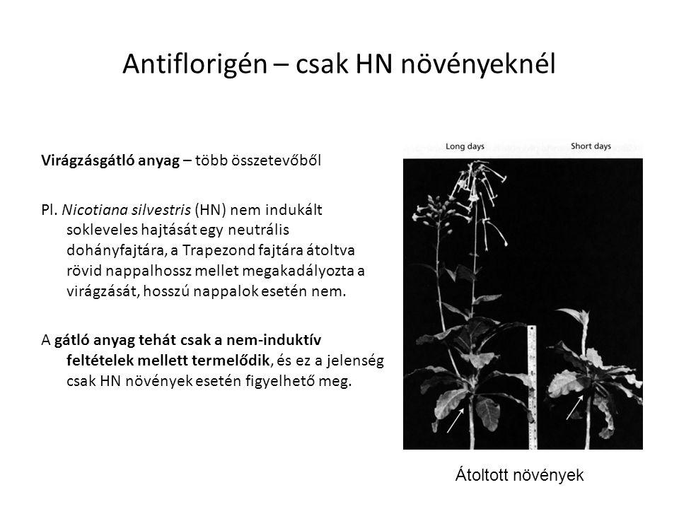 Antiflorigén – csak HN növényeknél Virágzásgátló anyag – több összetevőből Pl. Nicotiana silvestris (HN) nem indukált sokleveles hajtását egy neutráli