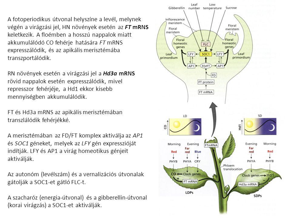 A fotoperiodikus útvonal helyszíne a levél, melynek végén a virágzási jel, HN növények esetén az FT mRNS keletkezik. A floémben a hosszú nappalok miat