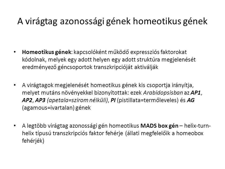 A virágtag azonossági gének homeotikus gének Homeotikus gének: kapcsolóként működő expressziós faktorokat kódolnak, melyek egy adott helyen egy adott