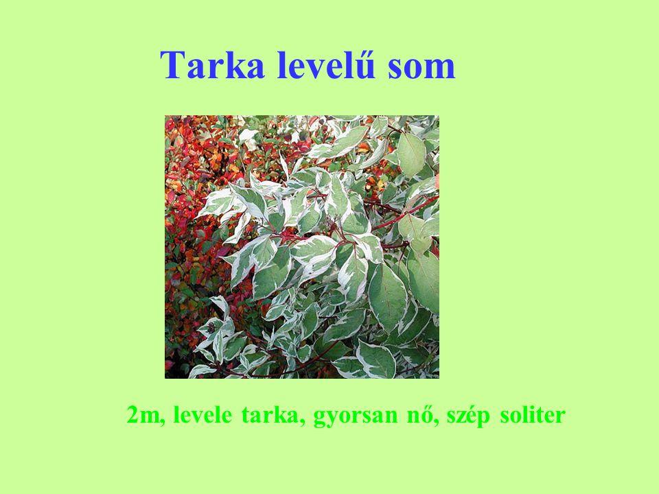 Tarka levelű som 2m, levele tarka, gyorsan nő, szép soliter