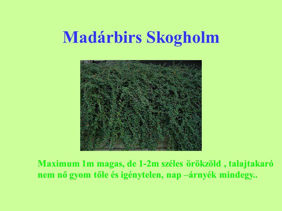 Madárbirs Skogholm Maximum 1m magas, de 1-2m széles örökzöld, talajtakaró nem nő gyom tőle és igénytelen, nap –árnyék mindegy..