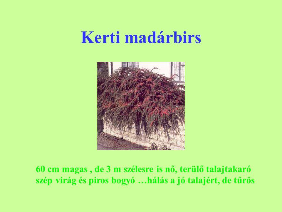Kerti madárbirs 60 cm magas, de 3 m szélesre is nő, terülő talajtakaró szép virág és piros bogyó …hálás a jó talajért, de tűrős