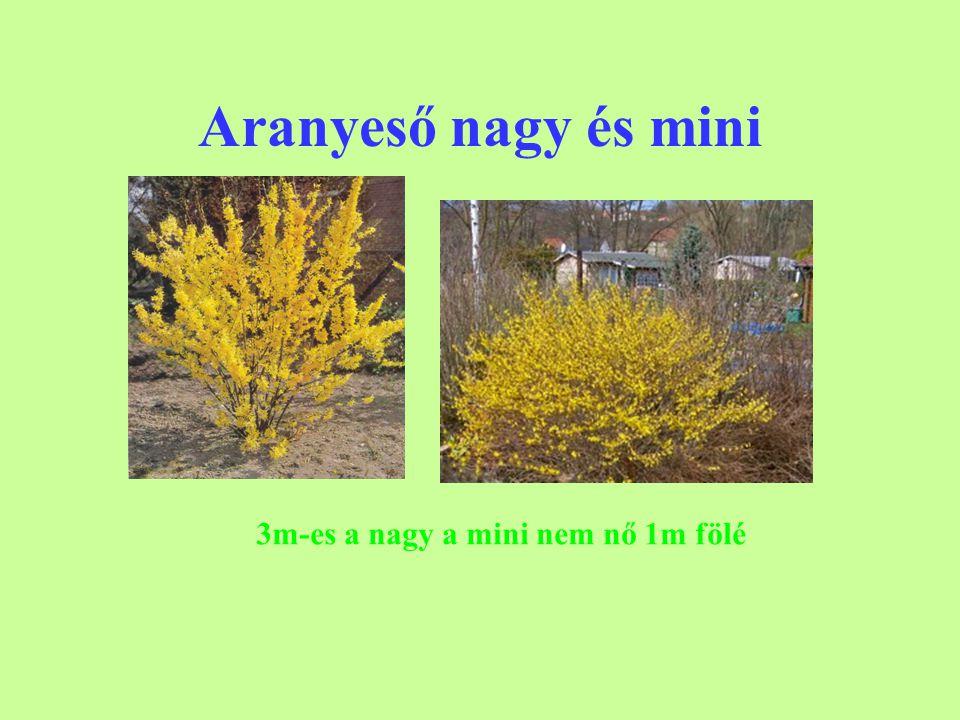Aranyeső nagy és mini 3m-es a nagy a mini nem nő 1m fölé