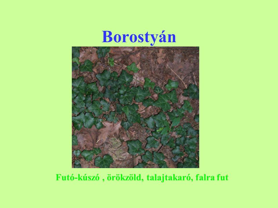 Borostyán Futó-kúszó, örökzöld, talajtakaró, falra fut