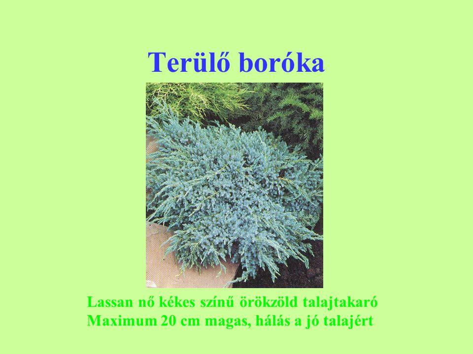 Terülő boróka Lassan nő kékes színű örökzöld talajtakaró Maximum 20 cm magas, hálás a jó talajért