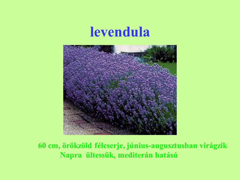 levendula 60 cm, örökzöld félcserje, június-augusztusban virágzik Napra ültessük, mediterán hatású